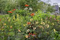 Dahlia seedlings, verbascum