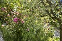 Rosa × odorata 'Mutabilis', rosemary, Olea europaea
