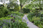 Gravel path through shady garden, Cornus kousa, geranium, irises, bergenia, brunnera, ferns