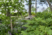 Shady garden, Cornus kousa, hydrangea, wooden bench around tree, geranium, Anthriscus sylvestris 'Ravenswing'