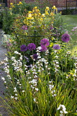 Libertia grandiflora, Allium hollandicum 'Purple Sensation', roses