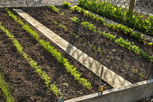 Rows of vegetable seedlings in raised bed, wooden board path