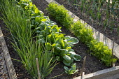Rows of Spring onions, spinach and carrots in raised bed