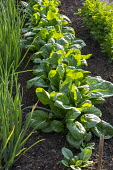 Row of spinach with Spring onions
