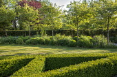 Clipped box parterre, clipped box balls under row of trees, alliums