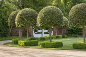 Gravel driveway, ow of standard trained lollipop standards underplanted with clipped Buxus sempervirens, white painted gates
