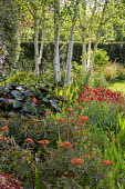 Euphorbia, geum and ligularia under silver birch trees