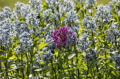 Amsonia tabernaemontana, Allium hollandicum 'Purple Sensation'