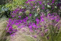 Geranium 'Patricia', Stipa tenuissima, Allium hollandicum 'Purple Sensation' seedheads