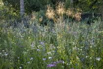 Prairie meadow, Eryngium planum, Achillea millefolium 'Summer Pastels', Stipa gigantea