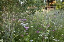 Multi-stemmed Betula utilis var. jacquemontii, Achillea millefolium 'Summer Pastels', Eryngium planum