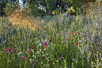 Prairie meadow, Eryngium planum, Stipa gigantea, Dianthus carthusianorum