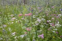 Achillea millefolium 'Summer Pastels' and Eryngium planum in perennial meadow