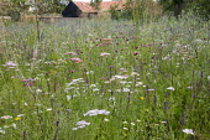 Prairie meadow, Eryngium planum, Achillea millefolium 'Summer Pastels', Stipa gigantea, Dianthus carthusianorum
