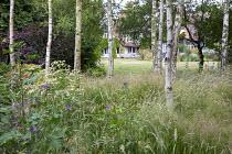 Long grass meadow beneath silver birch copse