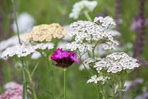Dianthus carthusianorum, Achillea millefolium 'Summer Pastels'
