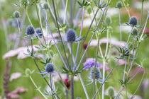 Eryngium planum, Achillea millefolium 'Summer Pastels'