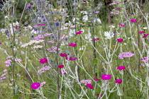 Lychnis coronaria, Achillea millefolium 'Summer Pastels', Eryngium planum