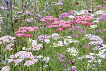 Achillea millefolium 'Summer Pastels', Eryngium planum