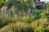 Anemanthele lessoniana, Stipa gigntea, mown grass path through perennial meadow, Eryngium planum