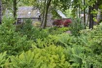 Ilex 'Nellie R. Stevens' and ferns in woodland garden