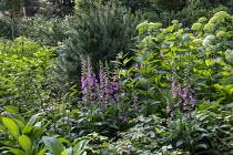 Digitalis purpurea, Hydrangea arborescens 'Annabelle'