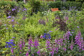 Digitalis purpurea, Verbena bonariensis, view to orange bench