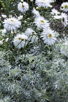 Leucanthemum x superbum 'Aglaia', artemisia