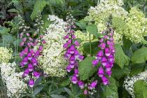 Hydrangea arborescens 'Annabelle', Digitalis purpurea