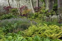 Woodland border, Dryopteris erythrosora, Astrantia major, Rodgersia parviflora, epimedium, astilbe, geranium, Acer palmatum
