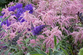 Astilbe 'Bressingham Beauty', campanula, buddleja