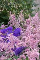 Astilbe 'Bressingham Beauty', campanula, buddleja, Stipa gigantea