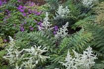 Astilbe 'Cappuccino', ferns, geranium