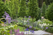 Row of Carpinus betulus 'Fastigiata', Hydrangea arborescens 'Annabelle' and lupins in box-edged border