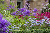 Thalictrum delavayi 'Splendide', penstemon, Polemonium 'Northern Lights' and campanula in box-edged border