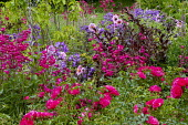 Dahlia 'Mystic Dreamer' syn. 'Candy Eyes', penstemon, Rosa 'Flower Carpet', campanula