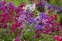 Thalictrum delavayi 'Splendide', penstemon, campanula, lilium
