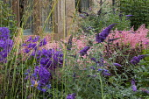 Buddleja, campanula, Stipa gigantea, Astilbe 'Bressingham Beauty'