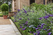 Buddleja and Polemonium 'Northern Lights' in box-edged border by house