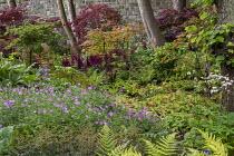 Woodland border, geraniums, astilbes, Astrantia major, Acer japonica, rodgersia