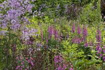 Digitalis purpurea, Thalictrum delavayi 'Splendide', Verbena bonariensis