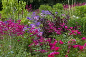 Dahlia 'Mystic Dreamer' syn. 'Candy Eyes', penstemon, Rosa 'Flower Carpet', campanula, Weigela 'Black And White'