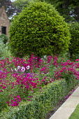 Penstemon and Dahlia 'Mystic Dreamer' in box-edged border, Taxus baccata lollipop standard, mowing strip
