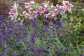 Lavender, lilies and lonicera