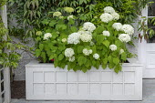 Hydrangea arborescens 'Annabelle' in wooden raised bed