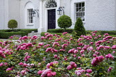 Carpet of roses in front of house, clipped box hedge, yew pyramid, lollipop Laurus nobilis standards