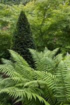 Dryopteris wallichianum, Taxus baccata yew pyramid, Acer palmatum