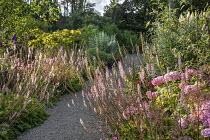 Francoa sonchifolia edging gravel path