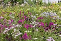 Perennial meadow, Stachys officinalis, Lythrum salicaria, achillea, Scabiosa atropurpurea 'Chile Black', campanula, Filipendula ulmaria