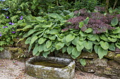 Stone water trough, hosta in raised bed, Geranium 'Rozanne', Acer palmatum